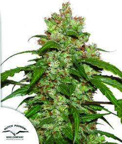BLACKBOMB (1) 100% PHILOSOPHER SEEDS