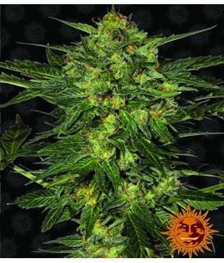 LSD - 100% feminizada y...