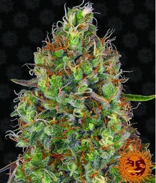 Sweet Tooth Auto -...