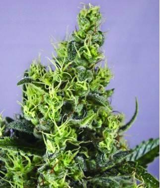 Claustrum - Cannabis...