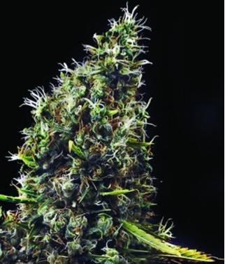 Cum Laude - Cannabis...