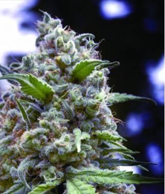 Grapefruit - Cannabis...