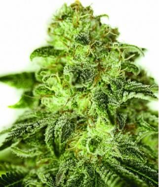 Glory OG - Cannabis...