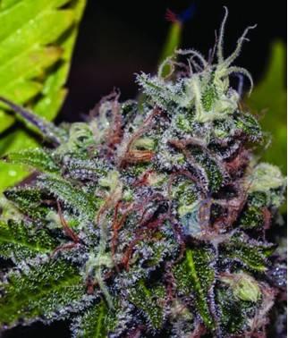 Caramelice - Cannabis...