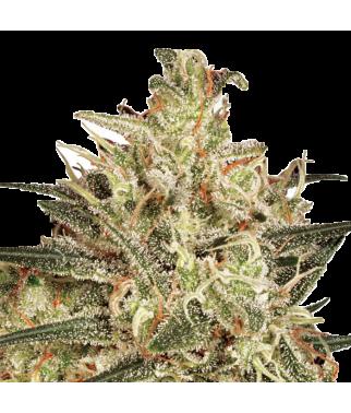 Atomical Haze - Cannabis...
