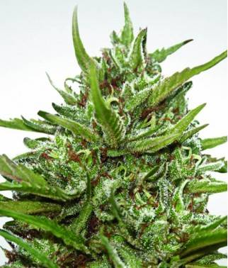 Auto Whiteberry - Marihuana...