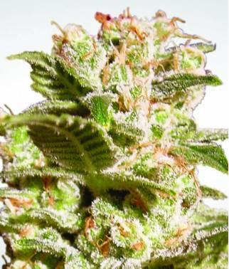 Belladonna - Cannabis...