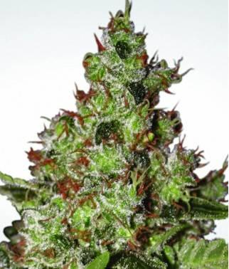 Acid - Marihuana tipo...