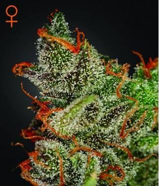 King's Kush - Marihuana...
