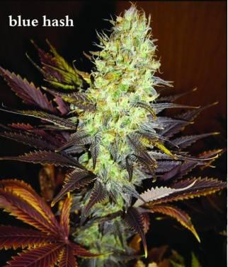 Blue Hash - Semilla...