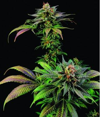 Blue Widow - Semilla...