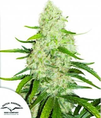 Think Big - Marihuana...