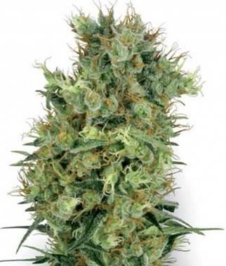 Californian Orange Bud -...