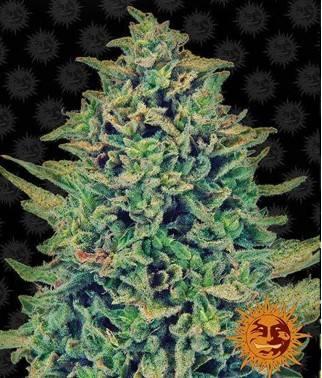 CBD Blue Shark - Cannabis...