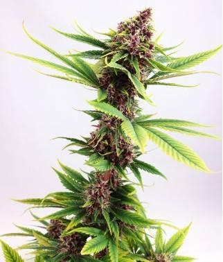 Purple Kush - Linaje...