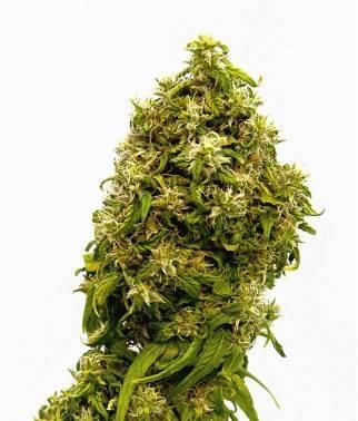 Swiss Dream CBD - Marihuana...