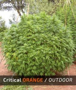 Imagen secundaria del producto Critical Orange