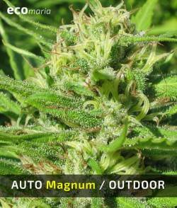 Imagen secundaria del producto Auto Magnum