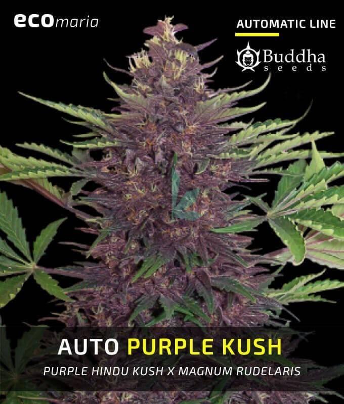 Imagen principal del producto Buddha Purple Kush Auto