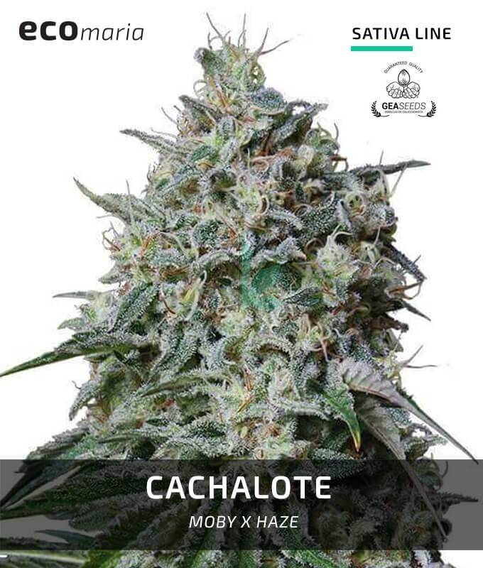 Imagen principal del producto Cachalote