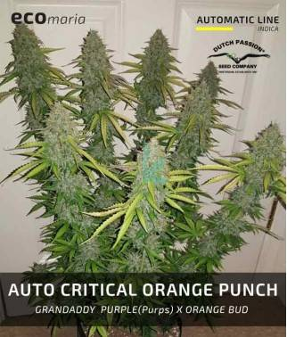 Auto Critical Orange Punch...