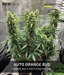 Auto Orange Bud -...
