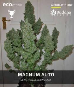 Magnum Auto de Buddha Seeds...