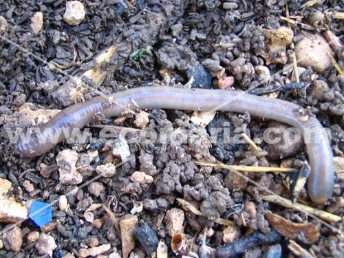 Lombriz de tierra sobre el terreno
